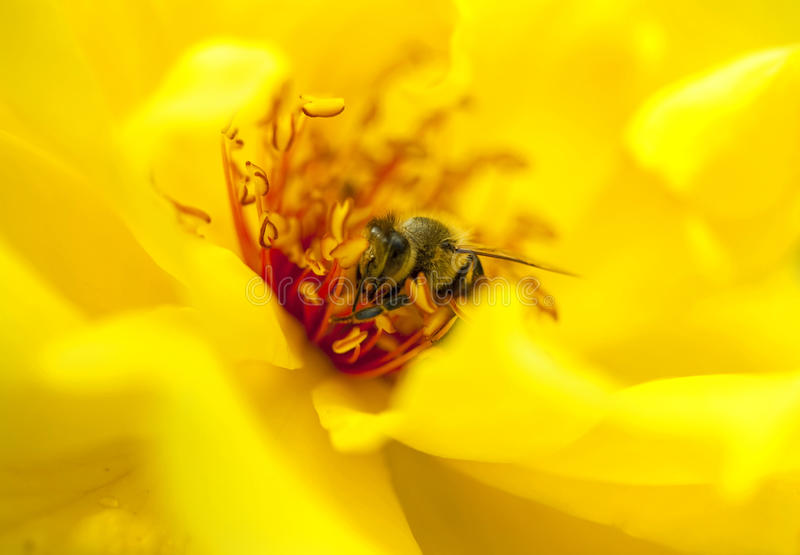 Worker bee. Closeup of a worker bee on a rose collecting pollen stock photos