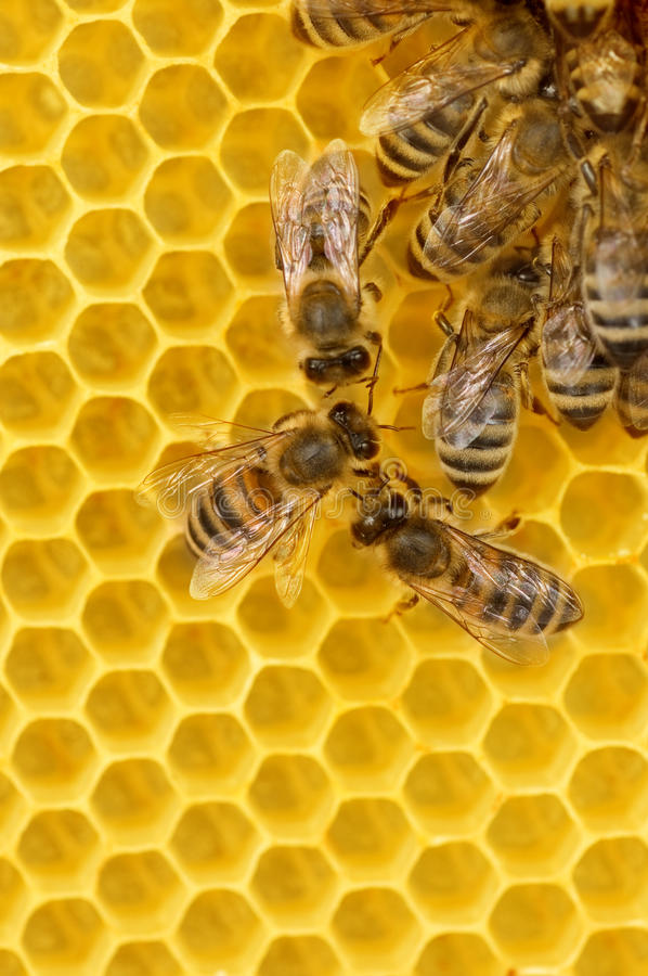 Free Worker Bees On Honeycomb Stock Photo - 9665530