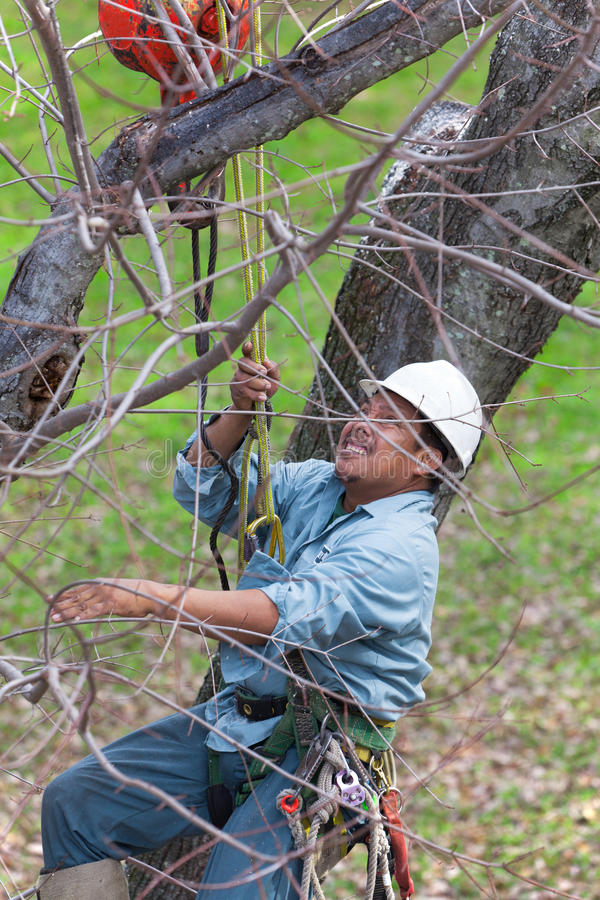 Worker being Hoisted up into a Tree royalty free stock images