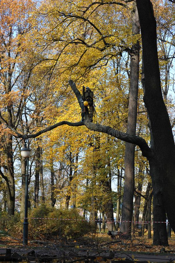 A worker with a chainsaw cutting down a tree royalty free stock photo