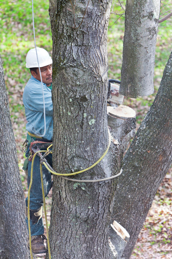 Download Worker With Chainsaw Cutting A Tree Royalty Free Stock Image - Image: 23636226