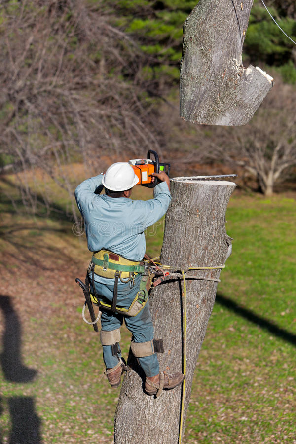 Worker with Chainsaw Cutting a Tree. With his tree climbing spikes dug in while strapped to the tree, a worker has just finished cutting through the tree trunk stock photo