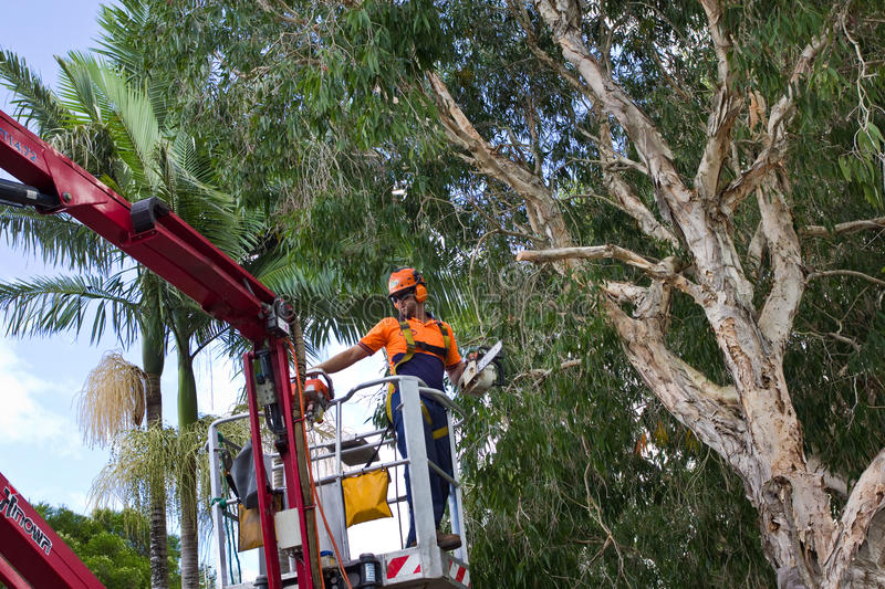 Worker On Cherry Picker With Chainsaw Editorial Stock Image