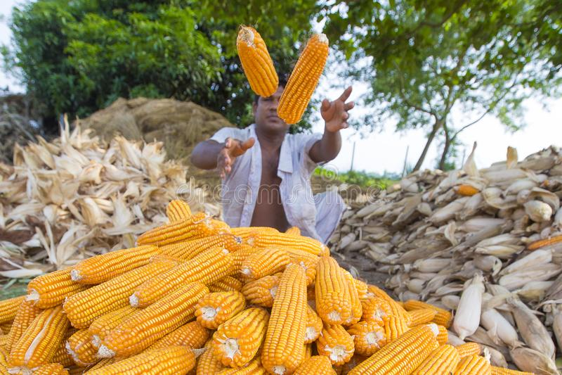 Worker collecting corn harvest, Thakurgaon, Bangladesh. Maize bhutta a CEREAL crop, Zea mays of the family Graminae, order Cyperales. In the Bangladesh it is stock images