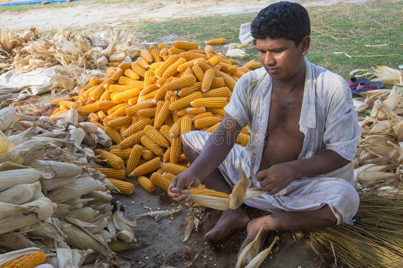 Worker collecting corn harvest, Thakurgaon, Bangladesh. Maize bhutta a CEREAL crop, Zea mays of the family Graminae, order Cyperales. In the Bangladesh it is stock photos