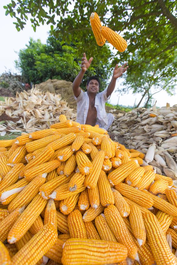 Worker collecting corn harvest, Thakurgaon, Bangladesh. Maize bhutta a CEREAL crop, Zea mays of the family Graminae, order Cyperales. In the Bangladesh it is stock image