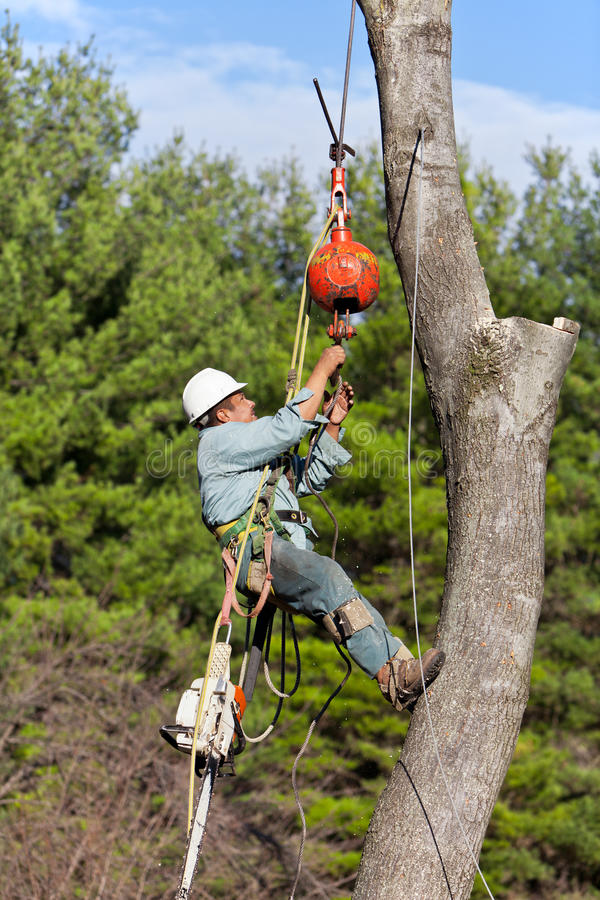 Worker connecting a cable to tree trunk royalty free stock image