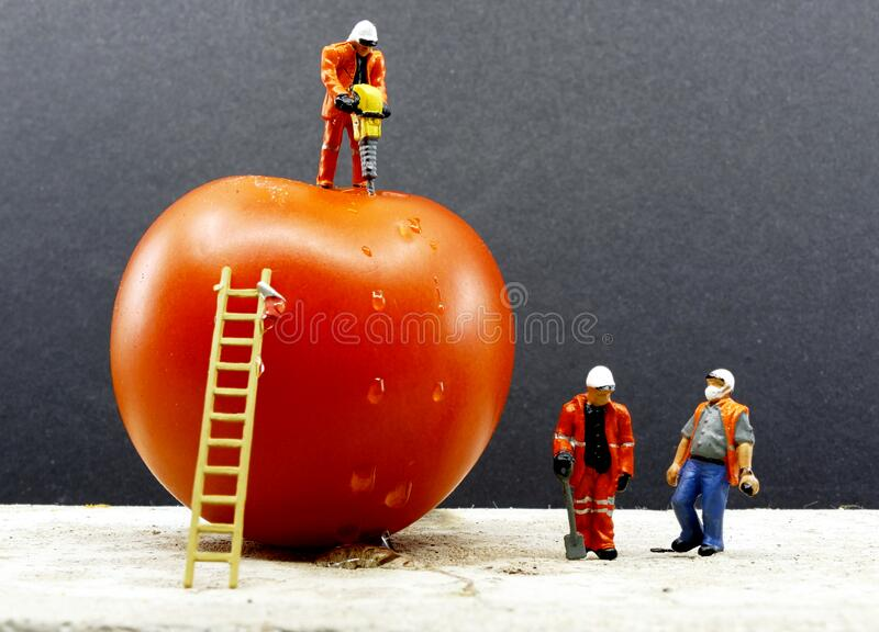 Worker drilling a giant tomato stock images