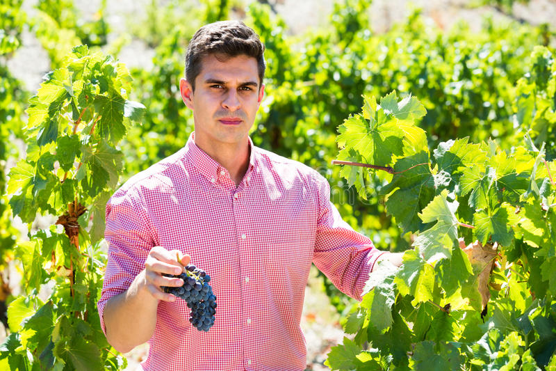 Worker at grape farm royalty free stock image