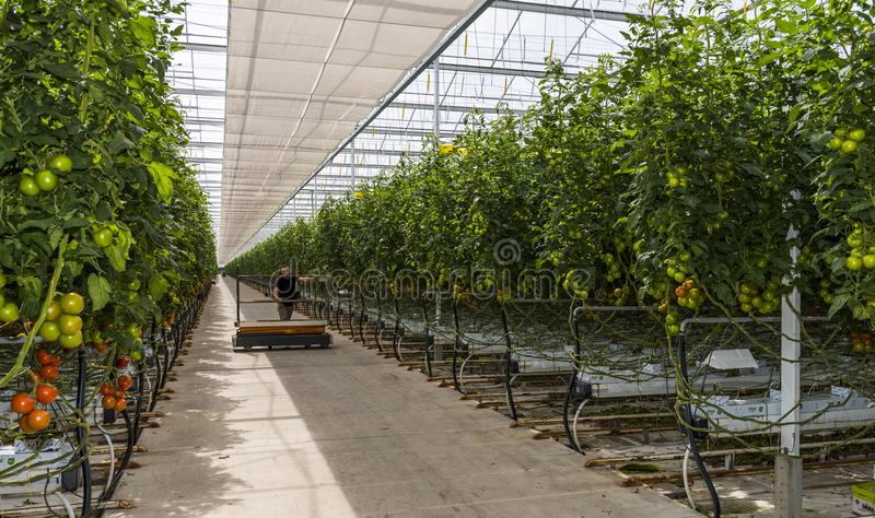 Worker in Greenhouse with Tomato stock photo