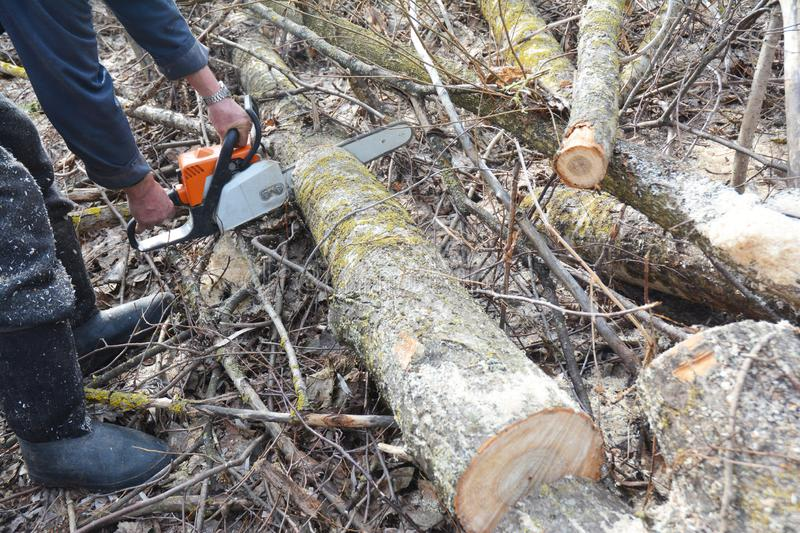 Worker hands with petrol chainsaw cutting trees. Man with gasoline petrol chain saw tree cutting in the forest. Photo stock photography