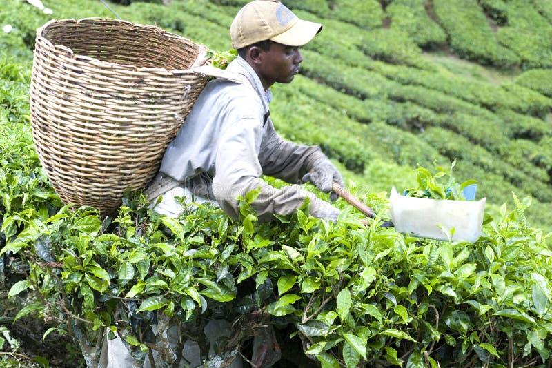 Worker Harvesting Tea Leaves royalty free stock photo