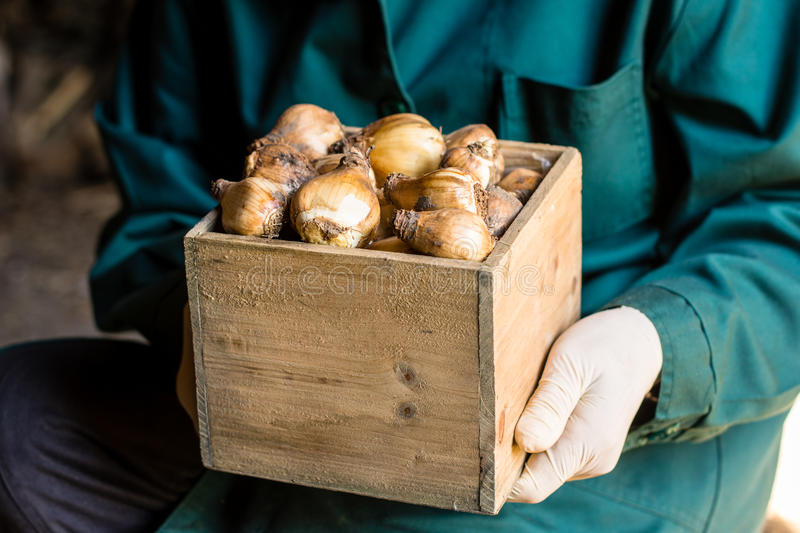 Worker keeps cleaned tulip bulbs in the box. Prepared for storing or planting. Care of the tulip bulbs and agriculture concept royalty free stock image
