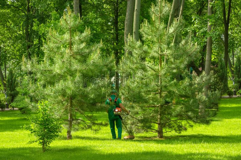 Worker with a lawn mower wearing  green work suit mows the lawn in the park. Lush fir trees surround it stock photos
