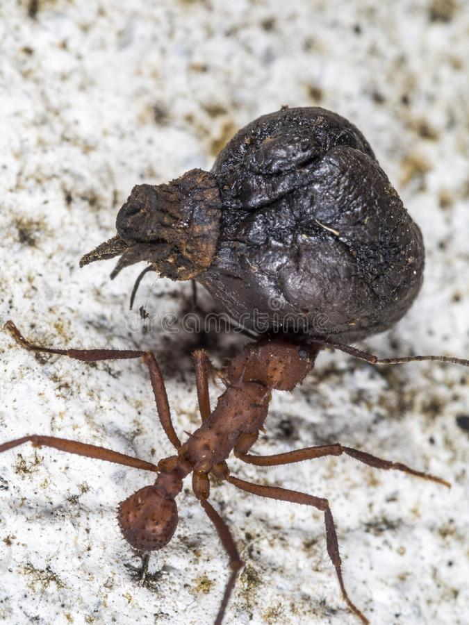 A leaf-cutter ant carrying a fruit part. A worker leaf-cutter ant [Atta cephalotes] with a large black fruit part in its jaws, on white ground royalty free stock image