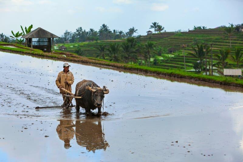 Worker man, asian water buffalo working at rice paddy stock photos