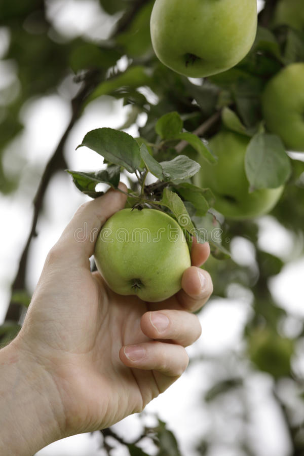 Worker picking a green apple stock photography