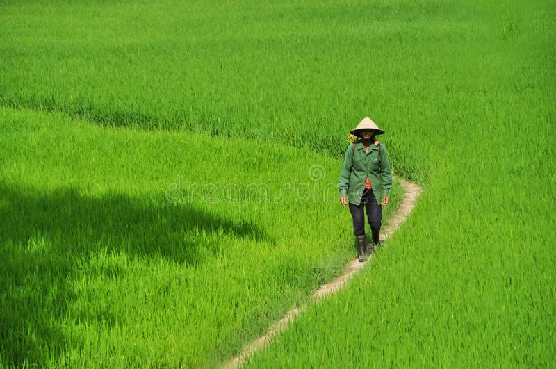 Worker of rice field royalty free stock photos