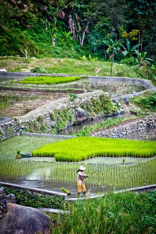 Worker In Rice Paddies At Ifugao,batad Editorial Stock Photo
