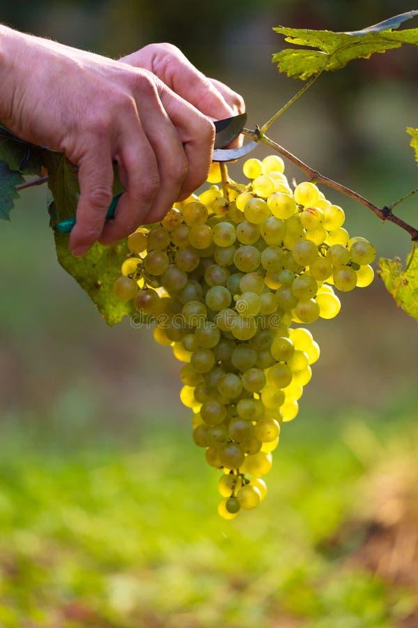 Worker& x27; s Wręcza Tnących Białych winogrona od winogradów zdjęcie royalty free