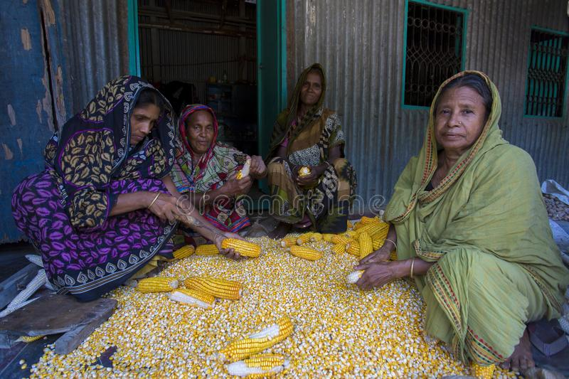 A Worker spread maize crop for drying stock images