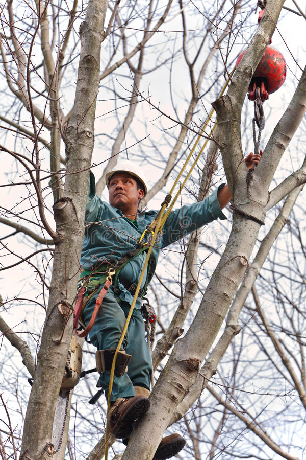 Worker in a Tree with Chainsaw. A worker with a chainsaw and other tree cutting tools hanging from his belt while holding on to the crane cable stock images