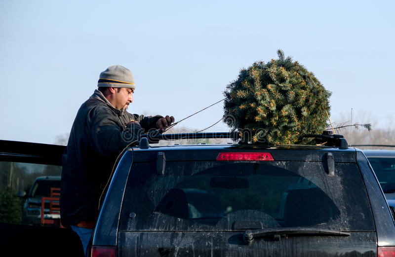 Worker tying Christmas tree to a car royalty free stock image