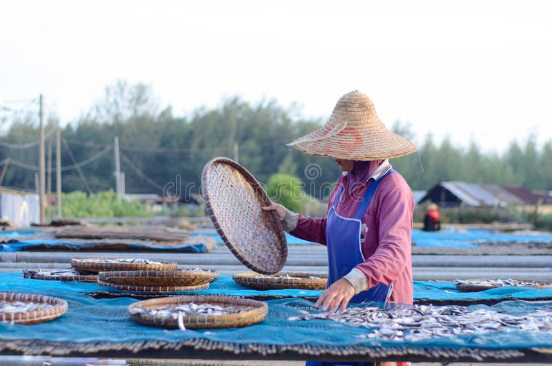 A worker was busy drying the fish for the process of drying the fish under the sun's heat before it became salted fish. stock photos