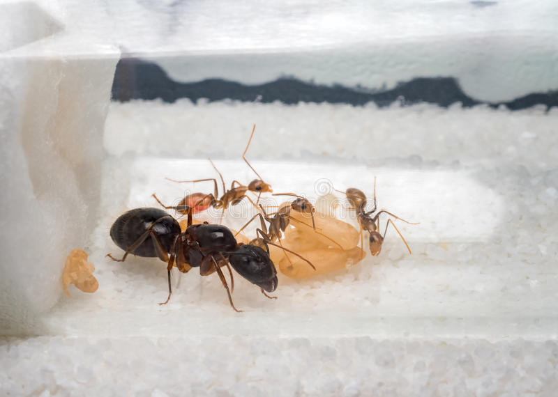 Workers ants are taking care of queen. Super close-up image of workers ants Camponotus Sp. taking care of the queen ant, eggs, larva and pupae in test tube royalty free stock photos