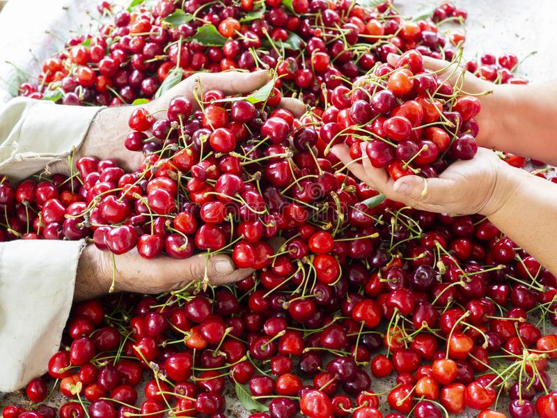 Cherry selective workers stock image