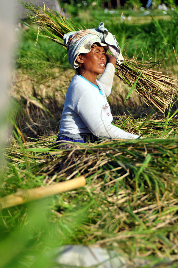Download Workers in harvest rice editorial photo. Image of separer - 15594621