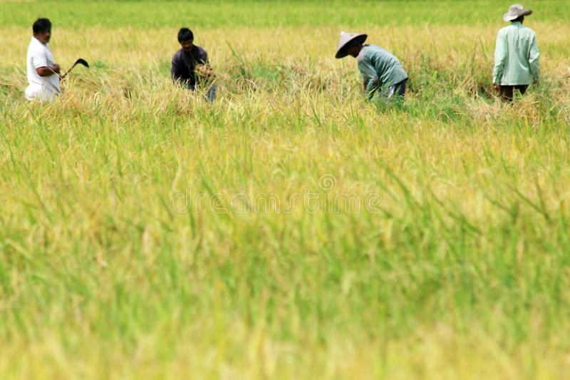 Workers harvesting paddy at rice field stock photos