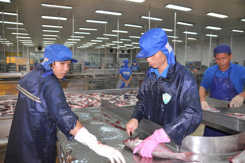 Workers are killing pangasius catfish before transfering them to the next processing line in a seafood factory in the Mekong delta royalty free stock image