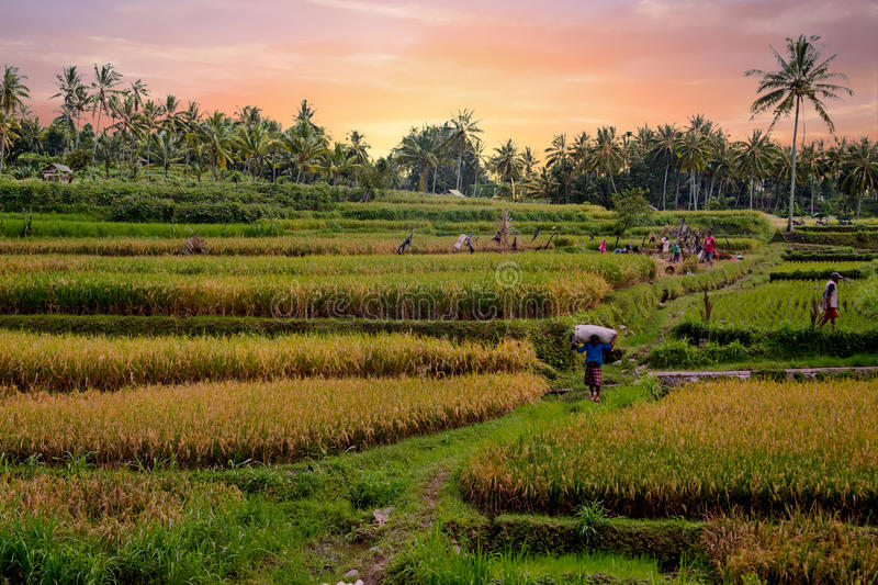 Workers on the land planting rice in the fields of Java Indonesia royalty free stock image