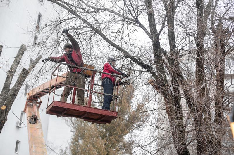 Workers in the municipal utilities cut tree branches. Trimming tree branches interfering with power wires stock photo