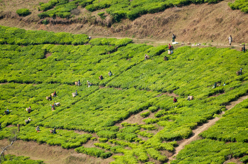 Workers Picking Tea royalty free stock image