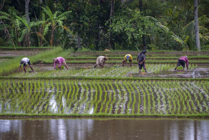 Planting Rice in Ubud, Bali, Indonesia. stock photos