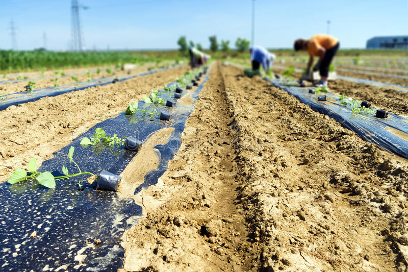 Workers planting tree seedlings stock photography