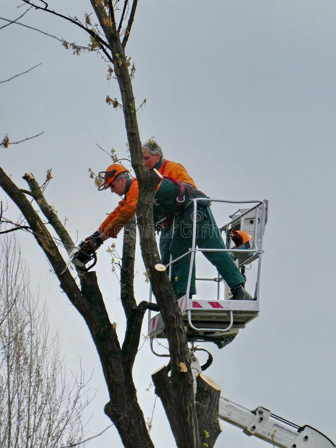 Workers Pruning, Trimming, Cutting Diseased Branches with Chainsaw stock image
