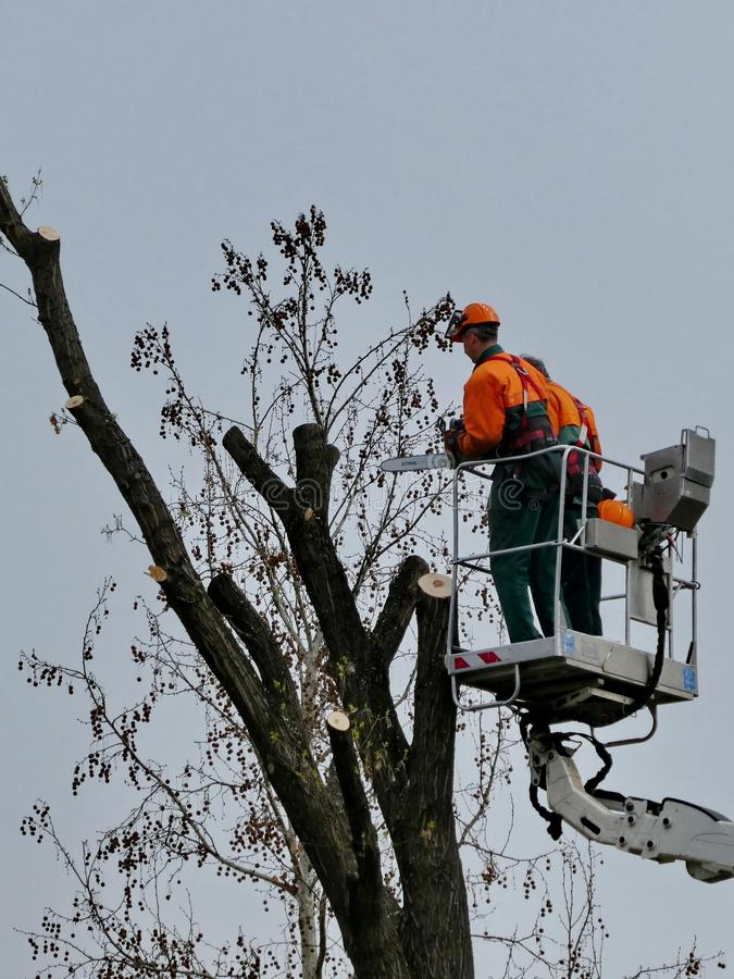 Workers Pruning, Trimming, Cutting Diseased Branches with Chainsaw royalty free stock images