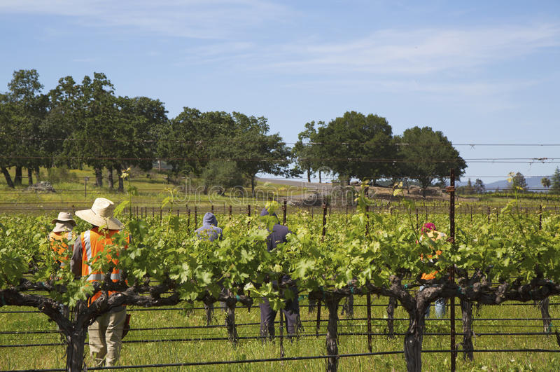 Workers pruning wine grapes in vineyard royalty free stock photography