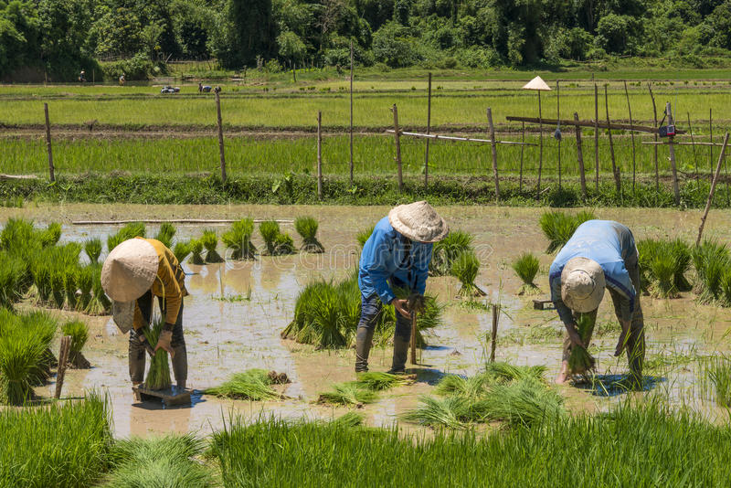 Workers at rice field. Workers in rice field between the mountains of Vang Vieng in Laos. Rice is the major food of Asian people. People are planting rice stock photos