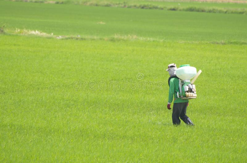 Workers spraying pesticides in the fields. Rice plants are growing royalty free stock photography
