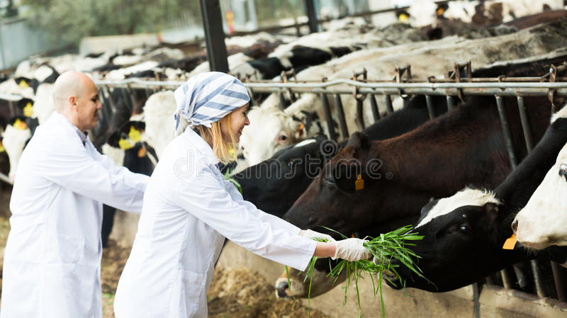 Workers taking care of cows. Adult professional workers in white gown taking care of cows herd stock photography
