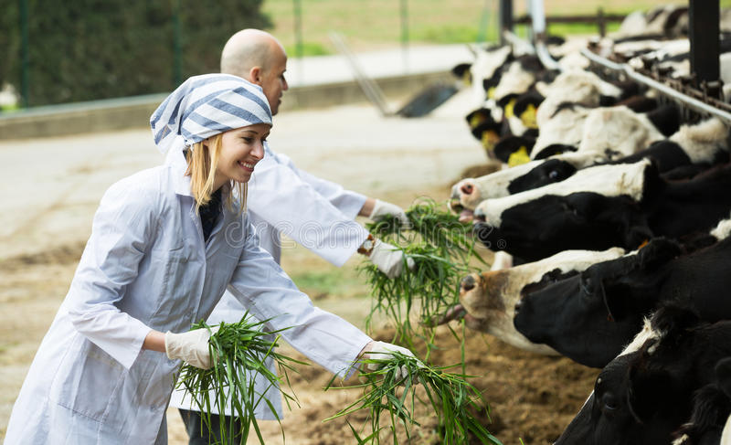 Workers taking care of cows. Happy adult professional workers in white gown taking care of cows herd royalty free stock photography