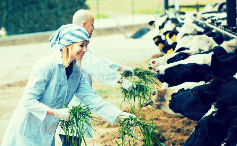 Workers taking care of cows. Happy adult professional workers in white gown taking care of cows herd stock photography