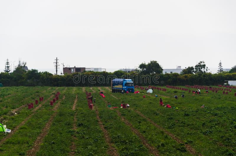 Workers work on the field, harvesting, manual labor, farming, agriculture, agro-industry in third world countries, labor. Migrants royalty free stock photos