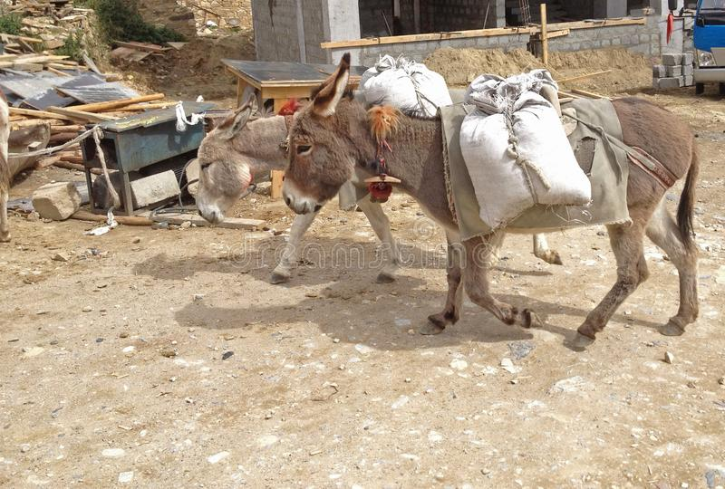 Working Animal used as draught or pack animals in underdeveloped areas, Donkeys Ass, Mule, Jack carrying sacks in construction stock photography
