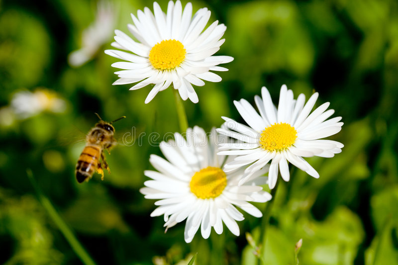 Working bee. royalty free stock photos