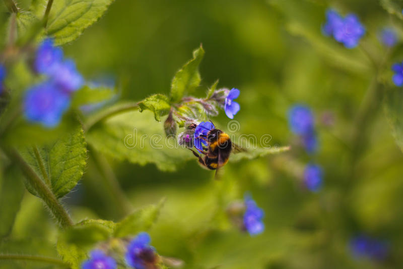 Working bee royalty free stock photography